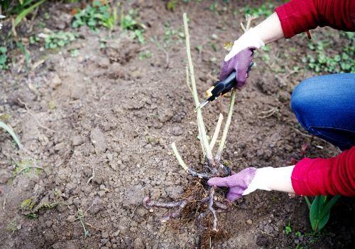 Planter un rosier