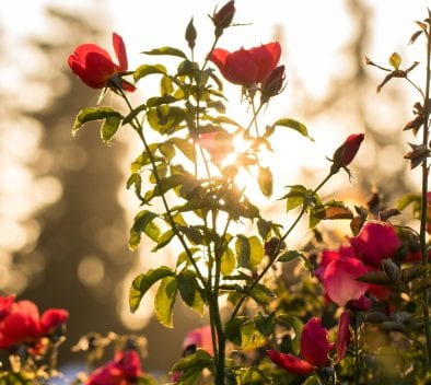 rosier jardin