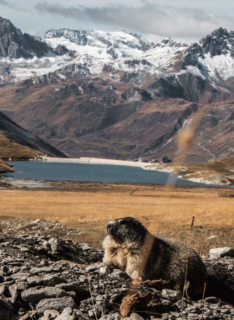 marmotte randonnée alpes