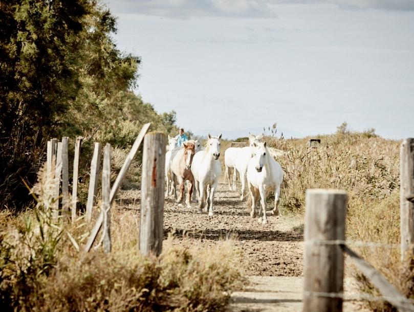chevaux blanc camargue